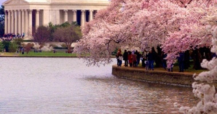 Cherry blossoms abound